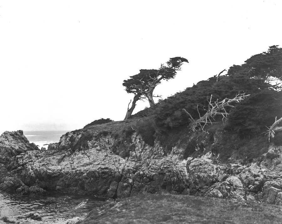 The Ostrich Tree on 17-Mile Drive