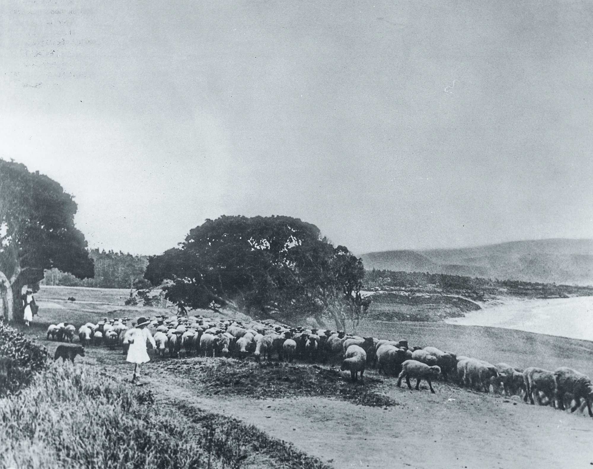 Sheep on the 14th hole at Pebble Beach